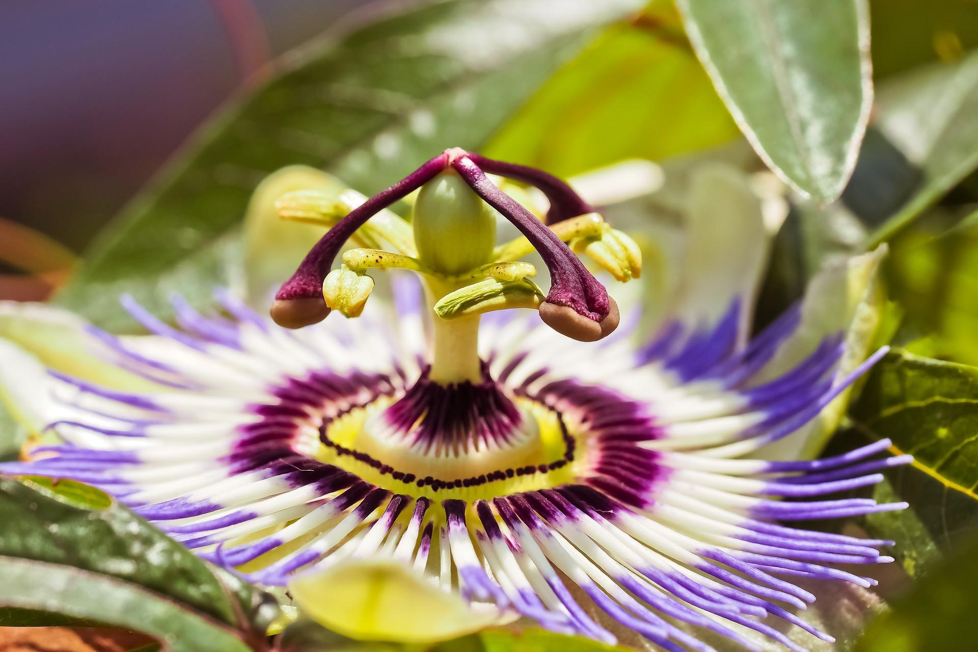 Passiflora incarnata pianta medicinale in omeopatia.